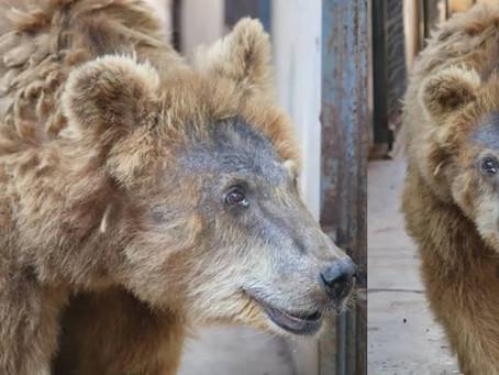 Ursa Marsha é transferida do Zoobotânico de Teresina para o Rancho dos Gnomos