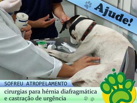 Ajude! Cadela atropelada é submetida a cirurgias de emergência