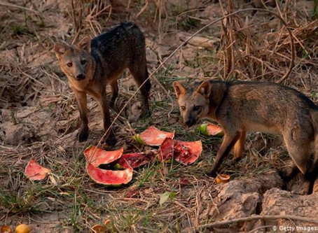 Animais que sobrevivem ao fogo enfrentam fome no Pantanal