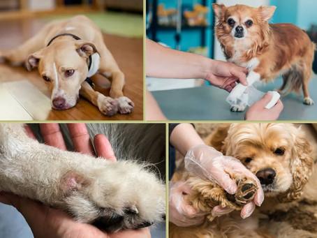 Bicho de pé: uma pulga que pode gerar quadro grave em pets