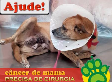 Ajude! Cadelinha com câncer de mama precisa de cirurgia