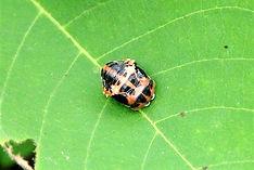 2010-7-15 012砂川学習館カメノコテントウの蛹a.jpg
