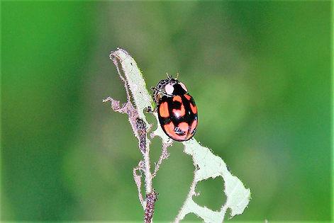 2010-7-18砂川学習館 クルミはムシの蛹を食べるカメノコテントウの成虫a.