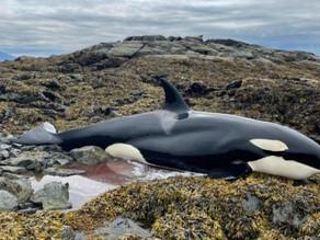 Good Samaritans help stranded killer whale survive