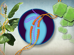 UCSD scientists develop the first CRISPR gene drive to edit and breed more robust crops