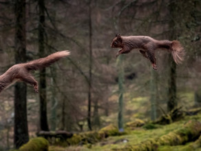 Leaping squirrels could help scientists develop more agile robots