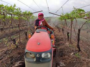 Grape Expectations: Women's labour bears fruit in Nashik