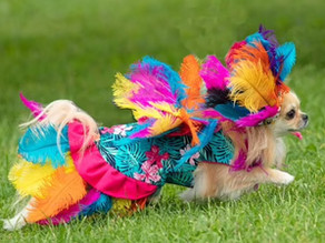 Strike a PAWS! 800 costumed Chihuahuas strut their stuff in Miss Chihuahua Town beauty pageant