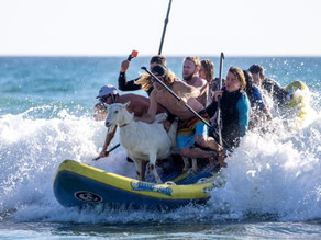 Pet goat coolly surfs the waves at California beach