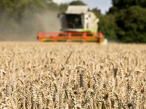 Scientists are growing genetically-edited wheat that removes cancer-causing amino acid