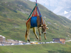 Sound of Moosic: Swiss cows airlifted off mountain pastures ahead of annual parade