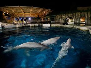 Mystic Aquarium Auctioning Off Chance To Name New Beluga Whales