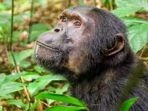 Primates' ancestors may have left trees to survive asteroid