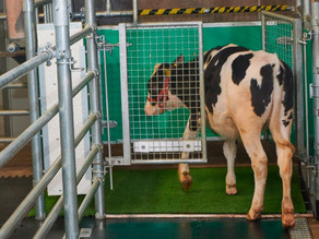 Researchers are toilet-training cows to save the planet