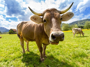 Recycled cow manure fertilizing a green agricultural trend