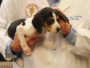 Terrier puppy born with upside-down paws now able to walk