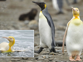 A rare yellow penguin discovered on South Georgia island --- dazzles the world