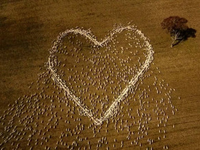 Astonishing heart formed by sheep, as farmer pays tribute to his beloved aunt