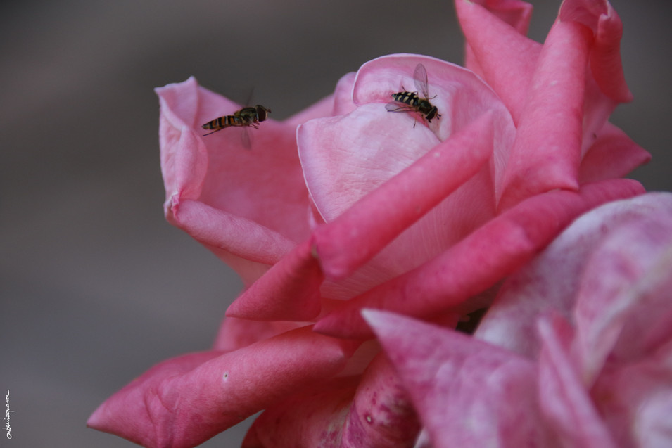 avispas en rosa.JPG