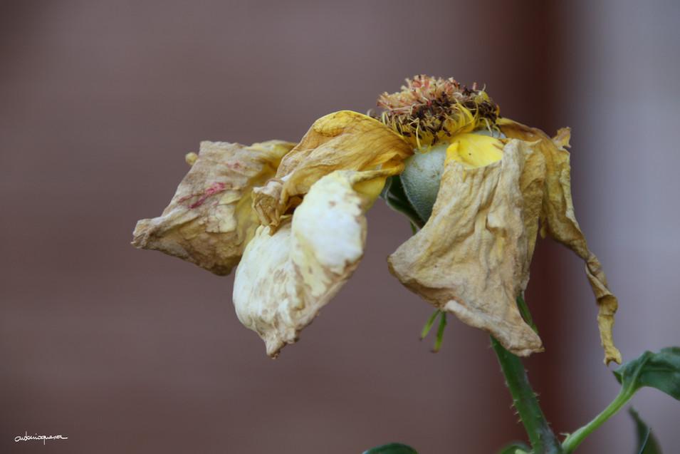 Rosa Amarilla marchita.JPG
