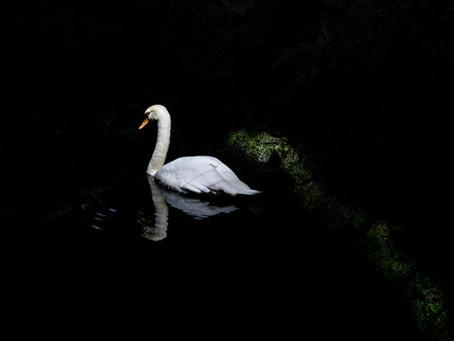 Swan as Symbol