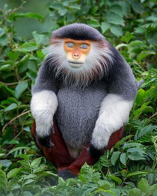 Red-shanked-douc_The-zen-monkey_Vietnam_