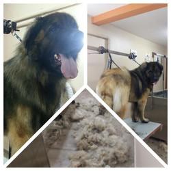 Wouf Toilettage Waterloo - Leonberg grand chien