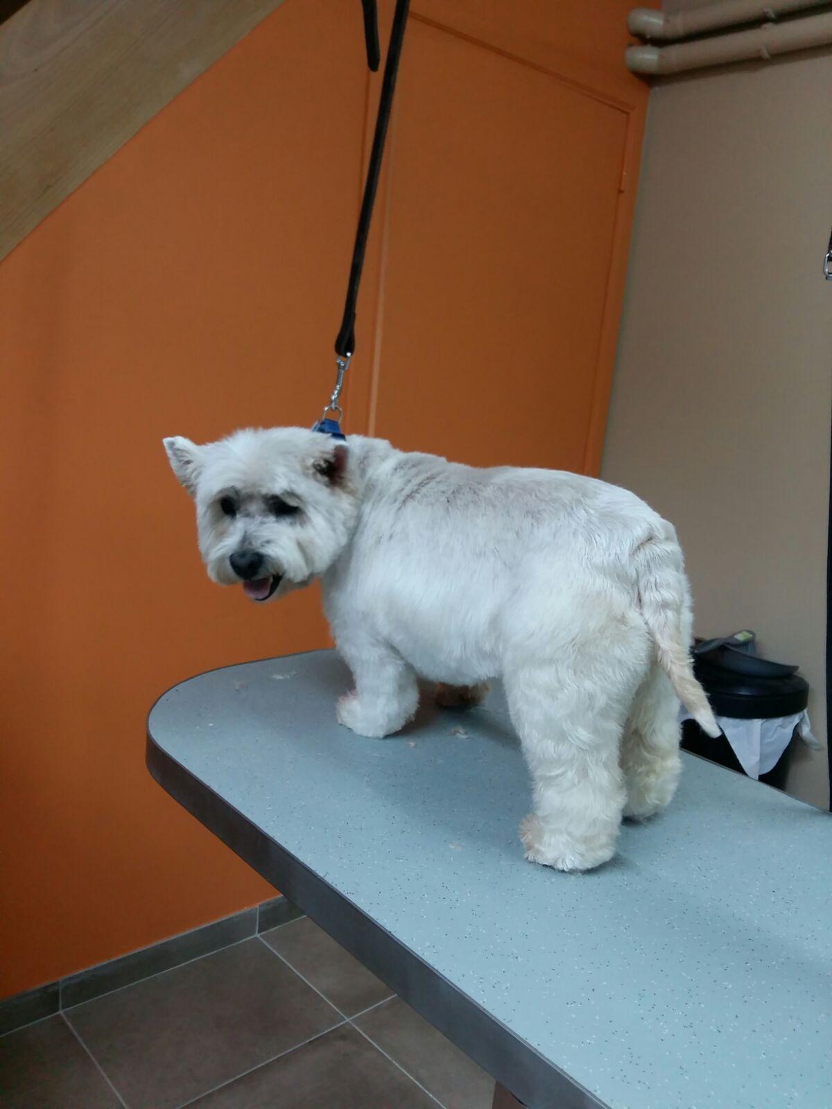 Wouf Toilettage Waterloo -West Higland Terrier