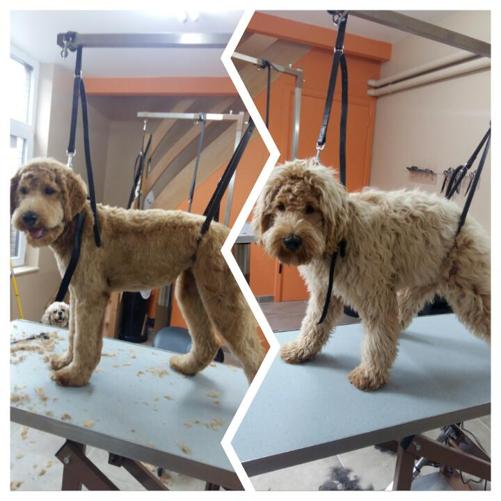 Wouf Toilettage Waterloo -Labradoodle Caniche Labrador
