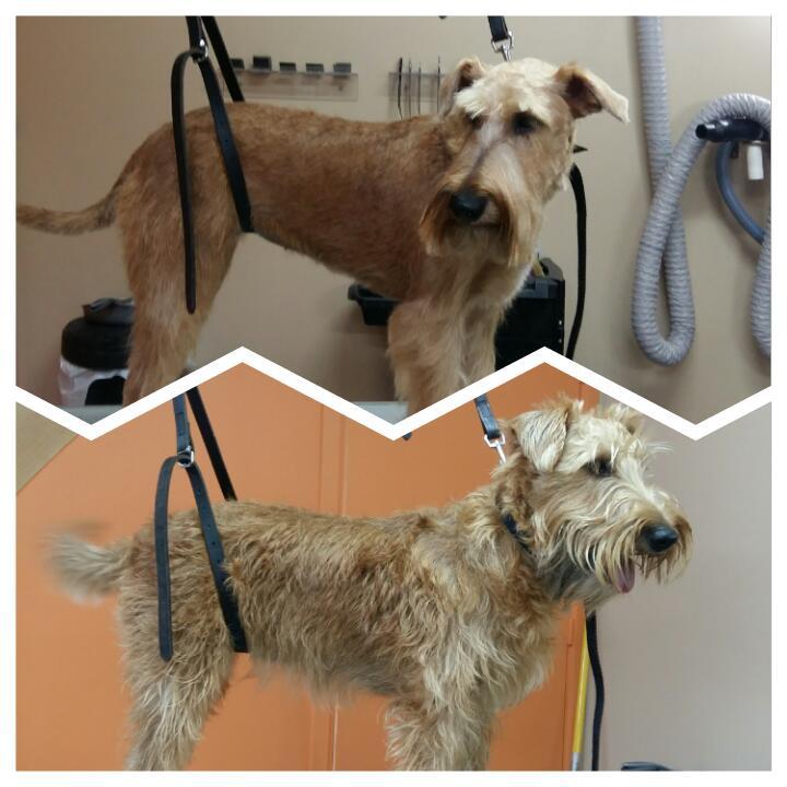 Wouf Toilettage Waterloo -Irish Terrier Trimming