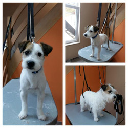 Wouf Toilettage Waterloo -Jack Russel Trimming