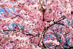 japanese-cherry-trees-3063992