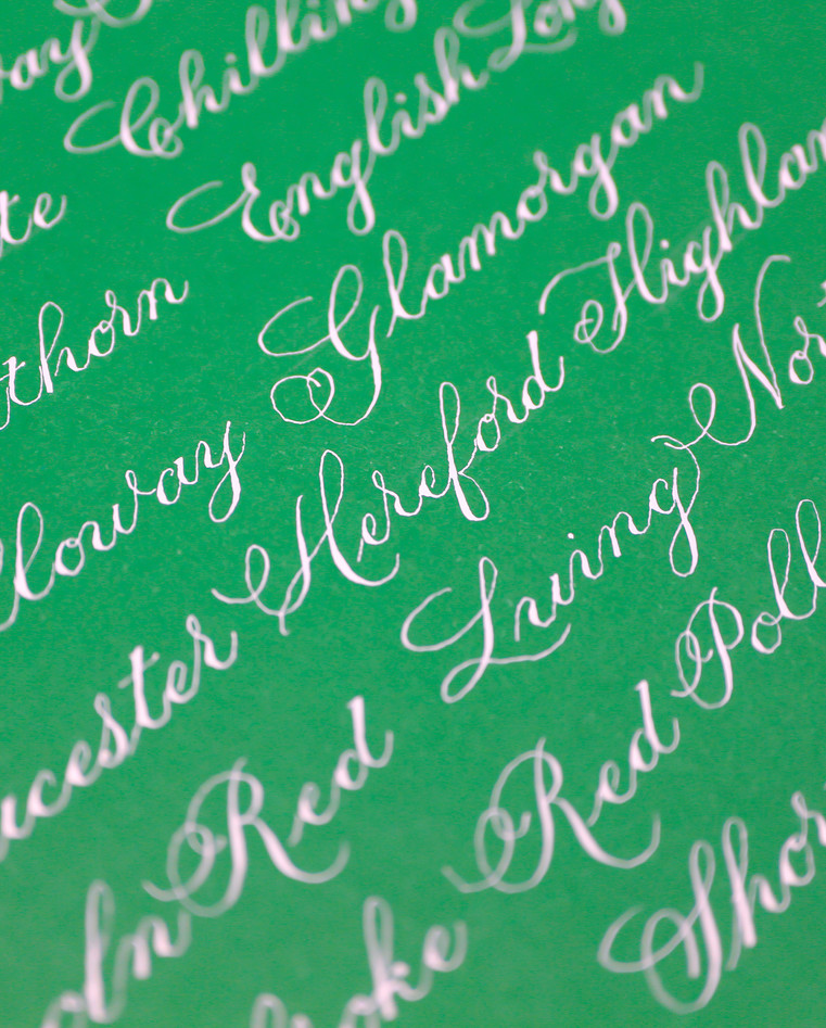 great-british-cow-breeds-calligraphy-her