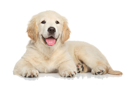 Golden-Retriever-Puppy-PNG-File.png