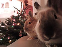 Le temps de Noël pour les lapines
