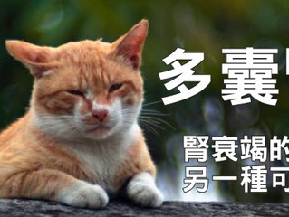 多囊腎—貓咪腎衰竭的另一種可能