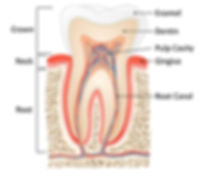 Parts or anatomy of tooth