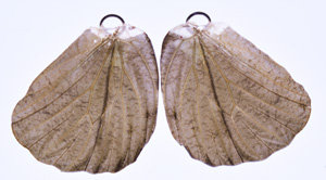 BFW039 Natural Butterfly Wing Earrings