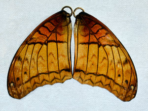 BFW0061 Natural Butterfly Wing Earrings