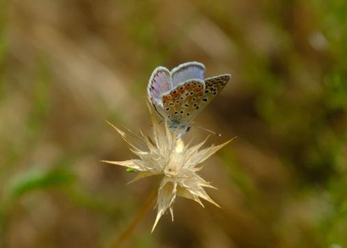 adonis-blue-butterfly.jpg