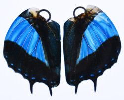 BFW0071 Natural Butterfly Wing Earrings