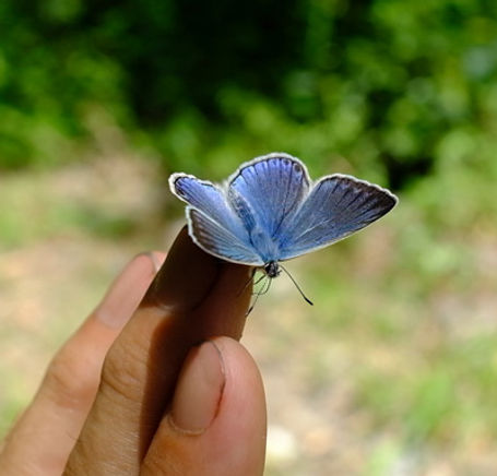 Blue-Adonis-butterfly-on-the-hand-of-taun-richards.jpg