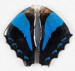 BFW0020 Natural Butterfly WIng Earrings