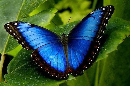 Blue_Morpho.jpg