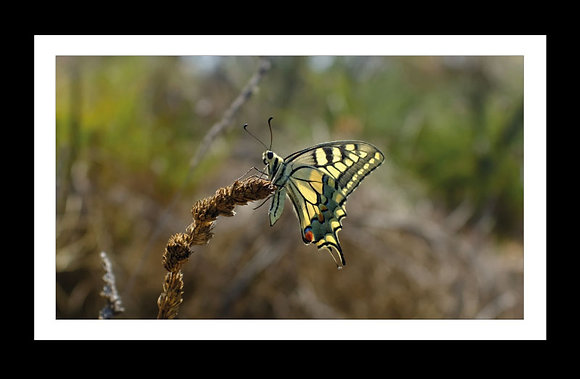 Thyme flies 90cm x 40cm Limited edition of 5