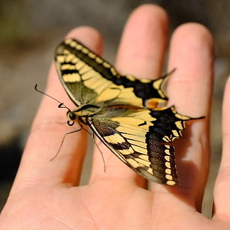 old-world-swallowtail-sitting-in-the-han