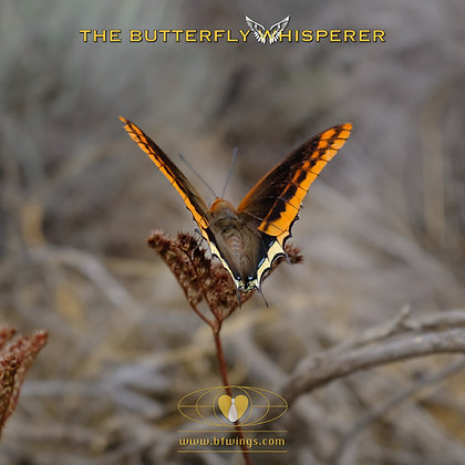 Pilgrims Progress butterfly art print