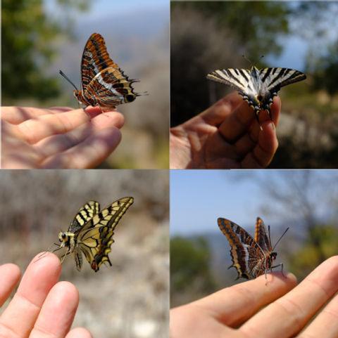 taun-richards-teh-butterfly-whisperer-bf