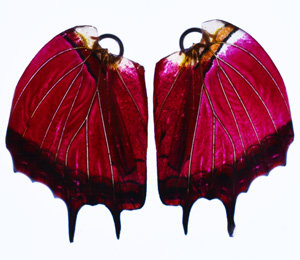 BFW070 Natural Butterfly Wing Earrings