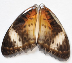 BFW0002 Natural Butterfly WIng Earrings